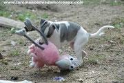 chiot whippet avec son jouet