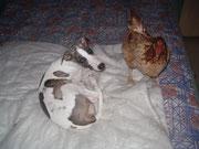 le whippet et la poule