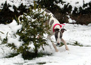 le whippet à la neige