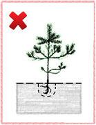 2. Загибание стержневого корня.