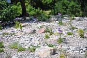 Steingarten/Ruderalfläche bepflanzt mit Polsterstauden.