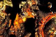 Synanceia horrida  Porträt seitlich