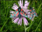 Zygaena filipendulae  (Zygaenidae) Grabels (34) 26/05/04