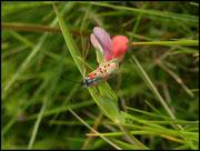 Zygaena rhadamanthus (Zygaenidae) Grabels (34) 15/04/04