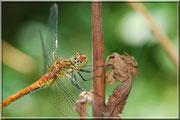 Sympetrum sanguineum_ St Sever_Le Gast (14) _Le 10 Août 2012