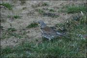 Grive litorne-Turdus pilaris-Vire (14) Le 07/03/2010