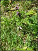 Ophrys fuciflora Heurteauville (76) Le : 03-06-2007