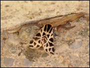 Ecaille-Arctiidae Grabels (34)