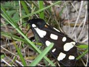 Écaille Fermière-Epicallia villica (Arctiidae) Grabels (34) 25/05/05