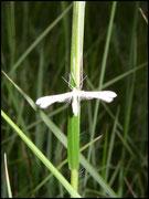 Ptérophore blanc-Pterophorus pentadactylus (Emmelina) Grabels (34) 01/06/2004