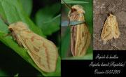 Hepiale du houblon- Hepialus humuli-(Hepialidae)-Viessoix(14) 10/07/2009