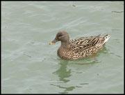 Canard colvert femelle Ouistream le 12/03/06