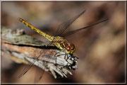 Sympetrum striolatum_St Sever_Le Gast_(14)_Le 10 Août 2012