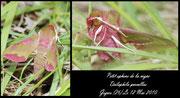 Petit sphinx de la vigne-Deilephila porcellus-Gigors (26) 12/05/2010