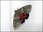 Catocala elocata (Noctuidae) Grabels (34)