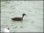 Canard colvert hybride Ouistream le 12/03/06