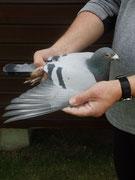 Vater 473 DV  Vogel 534