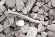 fossiler Knochen