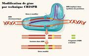 Insertion d'un fragment d'ADN pour modifier un gène