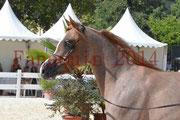 Concours National de Nîmes de chevaux ARABES 2014 - Notre Sélection - Portraits - ABYSS DE RODET - 1