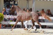 Concours National de Nîmes de chevaux ARABES 2014 - Notre Sélection - ABYSS DE RODET - 4