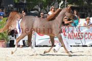 Concours National de Nîmes de chevaux ARABES 2014 - Notre Sélection - ABYSS DE RODET - 1