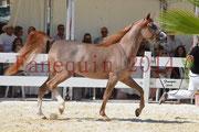 Concours National de Nîmes de chevaux ARABES 2014 - Notre Sélection - ABYSS DE RODET - 7