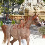 Concours National de Nîmes de chevaux ARABES 2014 - Notre Sélection - Portraits - ABYSS DE RODET - 4