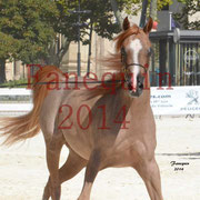 Concours National de Nîmes de chevaux ARABES 2014 - Notre Sélection - Portraits - ABYSS DE RODET - 3