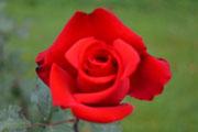Die letzte Rose   ---- an diesem Tag