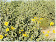 JOJOBA ORIGINAL SPECIES with Brittlebush