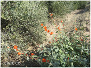 JOJOBA ORIGINAL SPECIES with Orange Desert Globemallow