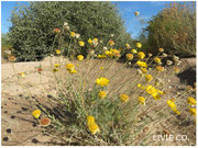 JOJOBA ORIGINAL SPECIES with Desert Marigold Native Wildflower