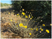 JOJOBA ORIGINAL SPECIES with Desert Marigold Native Wildflower
