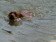 Ich muss ein echter Labbi sein. Ich liebe das Wasser und das Schwimmen.