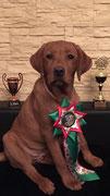 """Advent-Sieger & Christmas-Winner 2015 in Breitenbach, zusätzlich in """"Best of Class"""" Platz 3 (Babyklasse - Junghundklasse; alle Rassen) im Alter von 18 Wochen."""