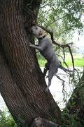 Auf einen Baum klettern - machen Labradore nicht.