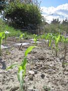 et notre champ de maïs doux...garantie sans OGM !