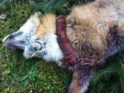 Trotz abgetrennter Vorderprante wehrte sich dieser Fuchs noch einige Zeit sehr aktiv gegen Rocky