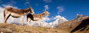 Eselsgeschrei in der Cordillera Huayhuash