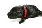 Andor ist ein kräftiger schwarzmarkener Rüde, mit einer kompletten Markenzeichnung. Auch er kann sein Temperament zeigen.