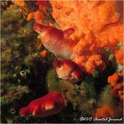 Halocynthia papillosa, Ascidie rouge