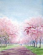 水彩画          静内二十間道路の桜並木