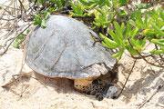 Meeresschildkröte bei der Eiablage