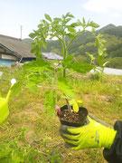 定植中のトマト苗 今年は「サンロード」という品種です。