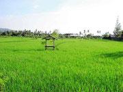 Das Reisfeld nebenan
