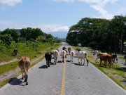 dodging the traffic on Isla Ometepe, Nicaragua