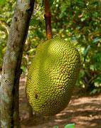 Jackfruit - Mekong Delta, Vietnam