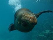 Sea lion showing off - Diving at Seymour, Santa Cruz, Galapagos Islands
