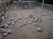 and more turtles - Isla Isabela, Galapagos Islands